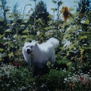 My samoyed Shanook