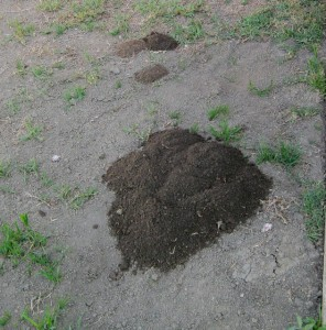 gophers in my yard