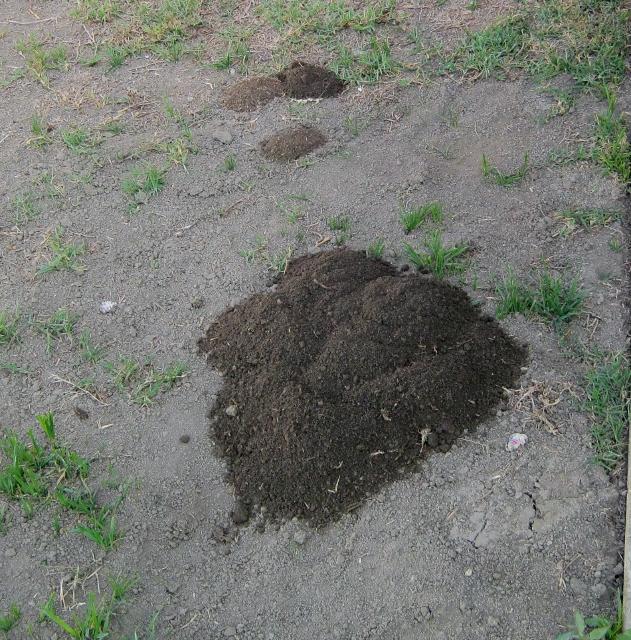 Gopher In Backyard: Getting Rid Of Gophers In My Yard