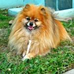 koda chews a rawhide stick