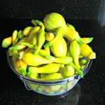 Yellow squash harvest