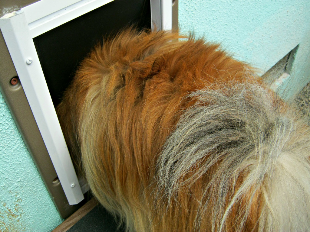 dog using wall entry pet door